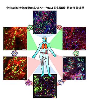 免疫細胞社会の動的ネットワークによる多臓器・組織機能連関